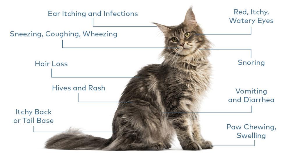 Feline Allergy Symptoms