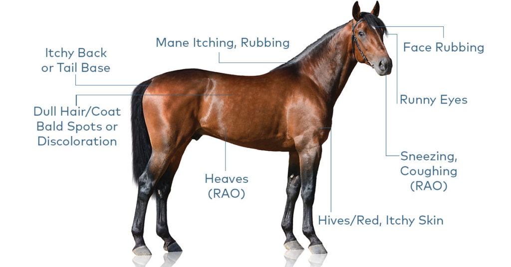 Equine Allergy Symptoms